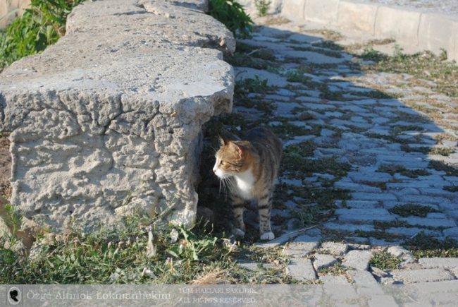 Bozcaada'da da kediler 2