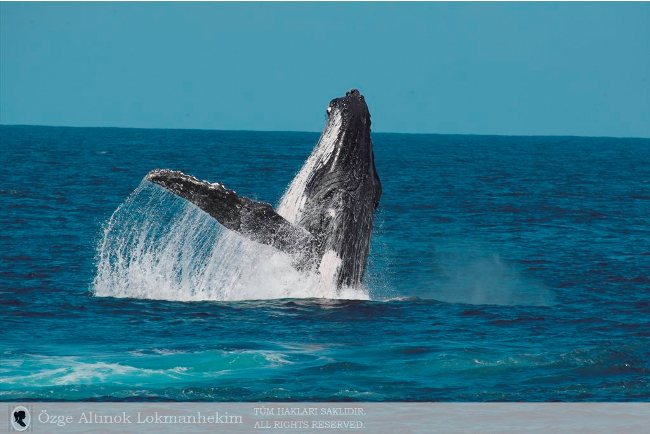 kambur balina 1