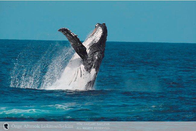 kambur balina 2