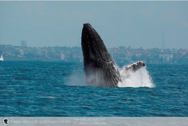 kambur balina 3