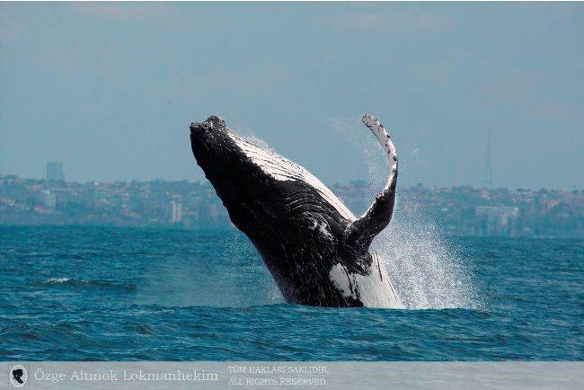 kambur balina 4