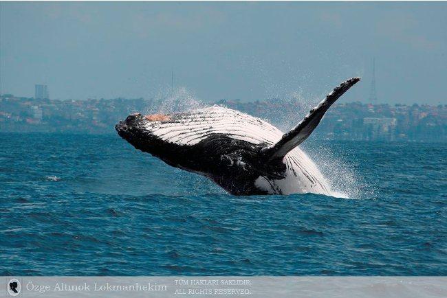 kambur balina 5
