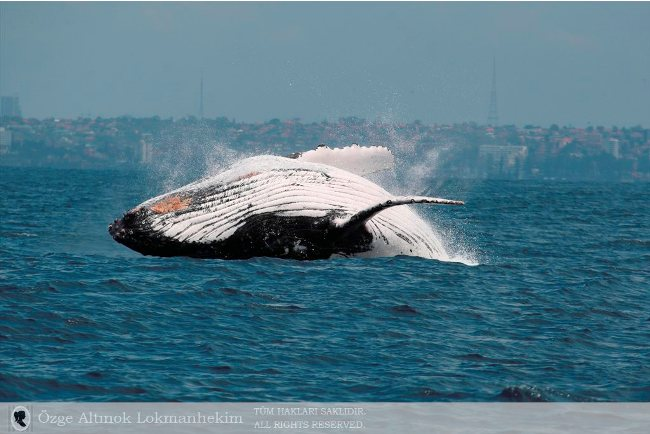 kambur balina 6