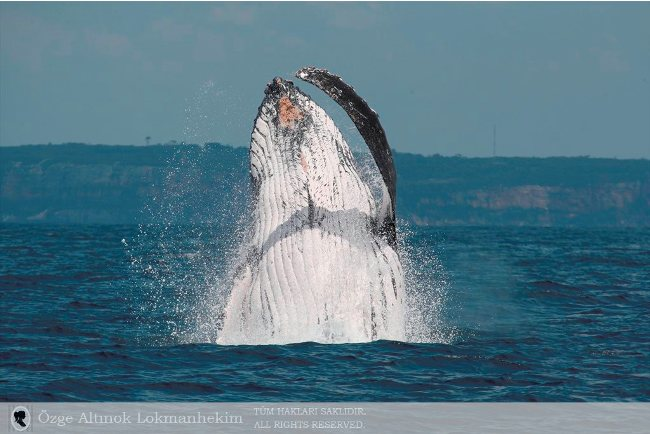 kambur balina 8