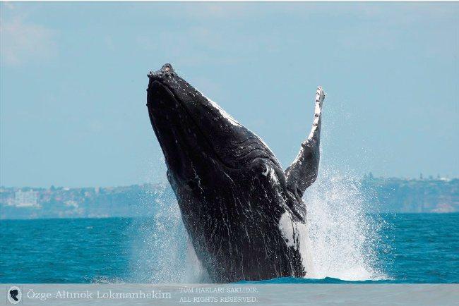 kambur balina 9