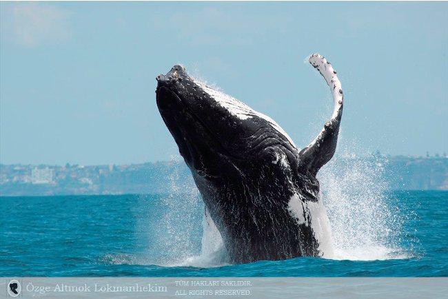 kambur balina 10