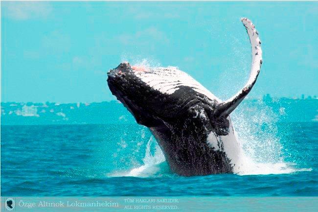 kambur balina 11