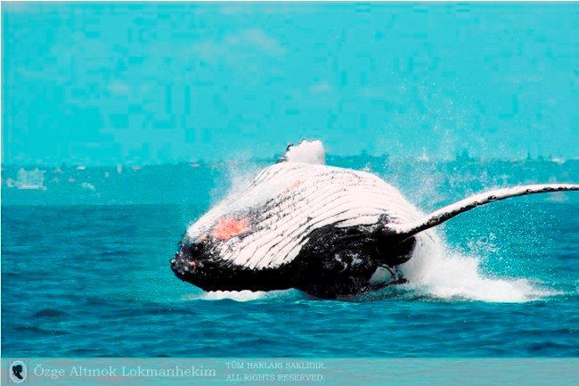 kambur balina 12