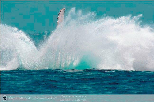 kambur balina 13