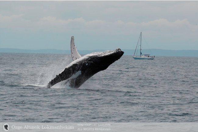 kambur balina 14