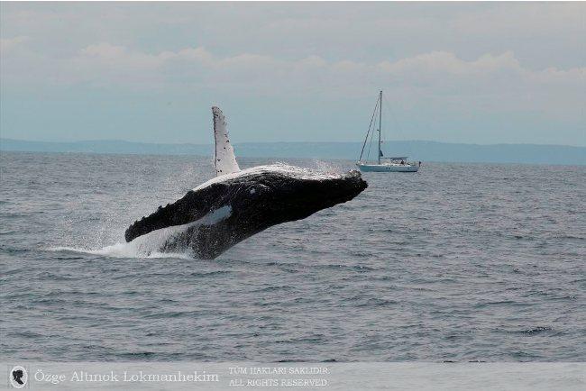 kambur balina 15