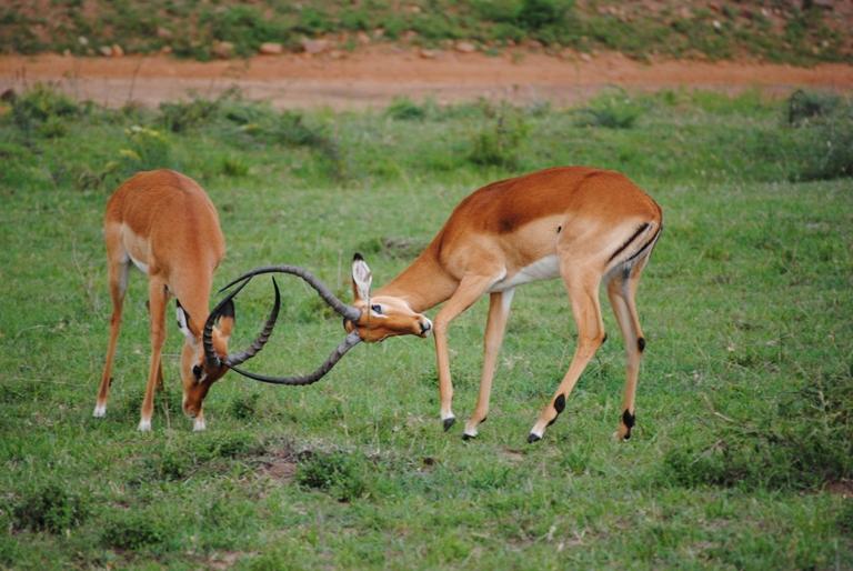 JAMBO KENYA ! Masai Mara'da Safari 10