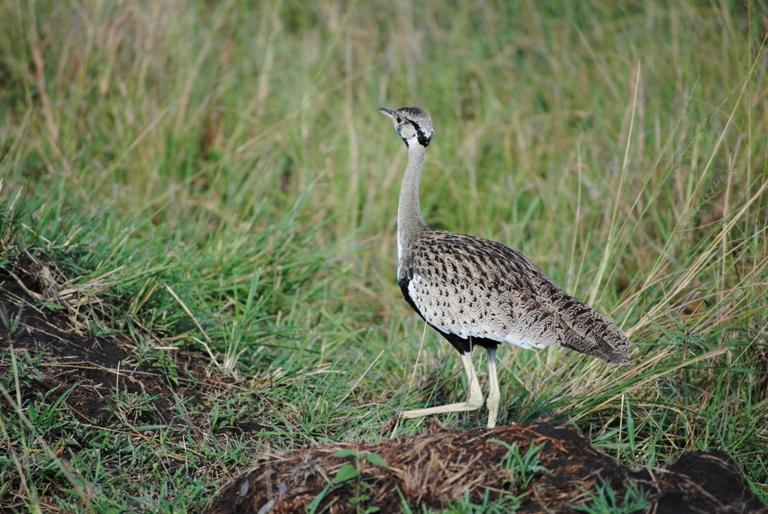 JAMBO KENYA ! Masai Mara'da Safari 18