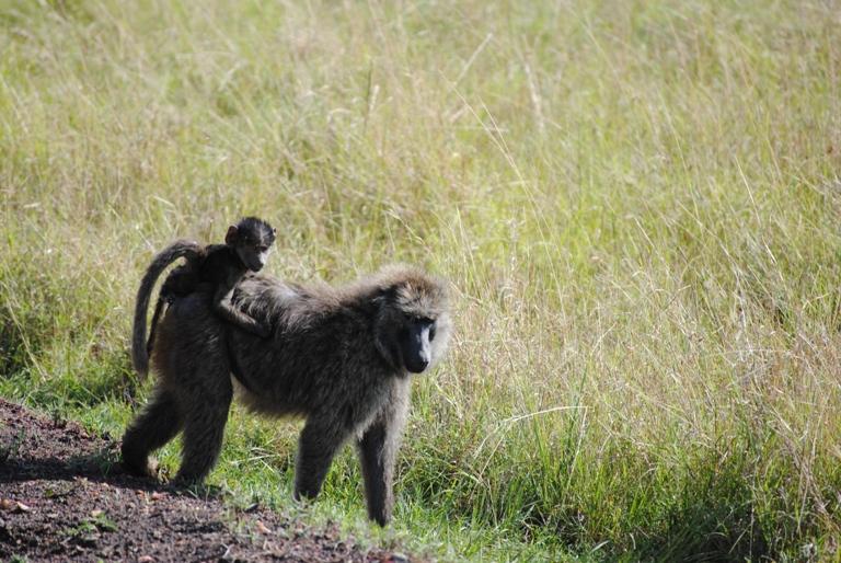 JAMBO KENYA ! Masai Mara'da Safari 22