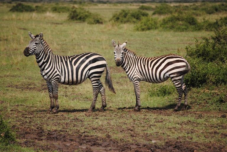 JAMBO KENYA ! Masai Mara'da Safari 8