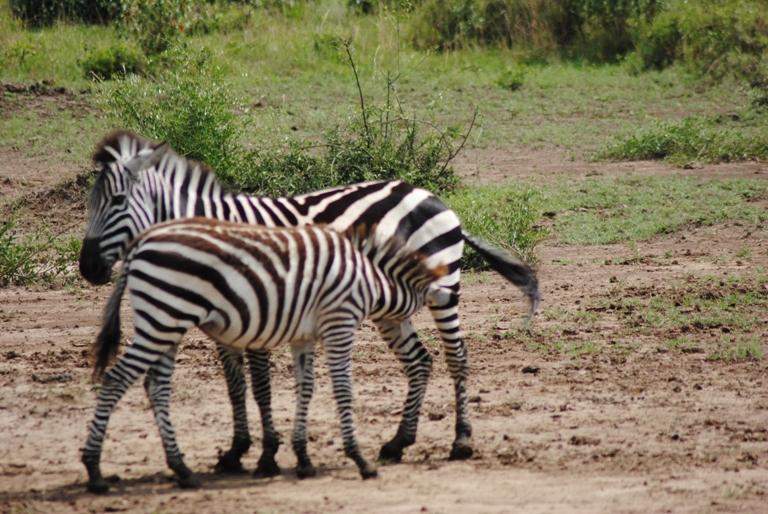 JAMBO KENYA ! Masai Mara'da Safari 30