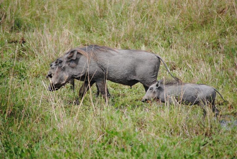 JAMBO KENYA ! Masai Mara'da Safari 31