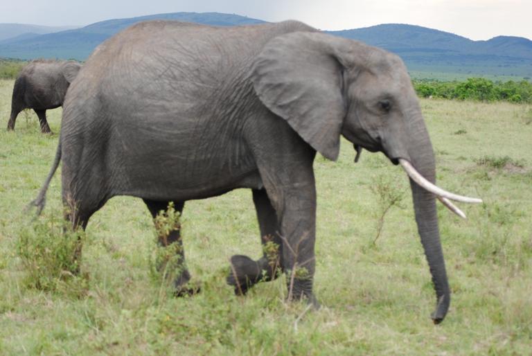 JAMBO KENYA ! Masai Mara'da Safari 1